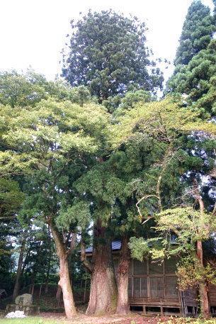河内二柱神社の大杉